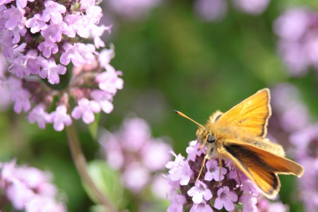 Vlinder op bloem